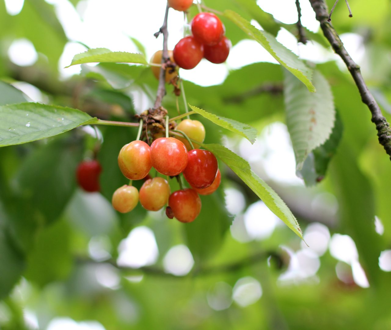 brogdale collections cherries