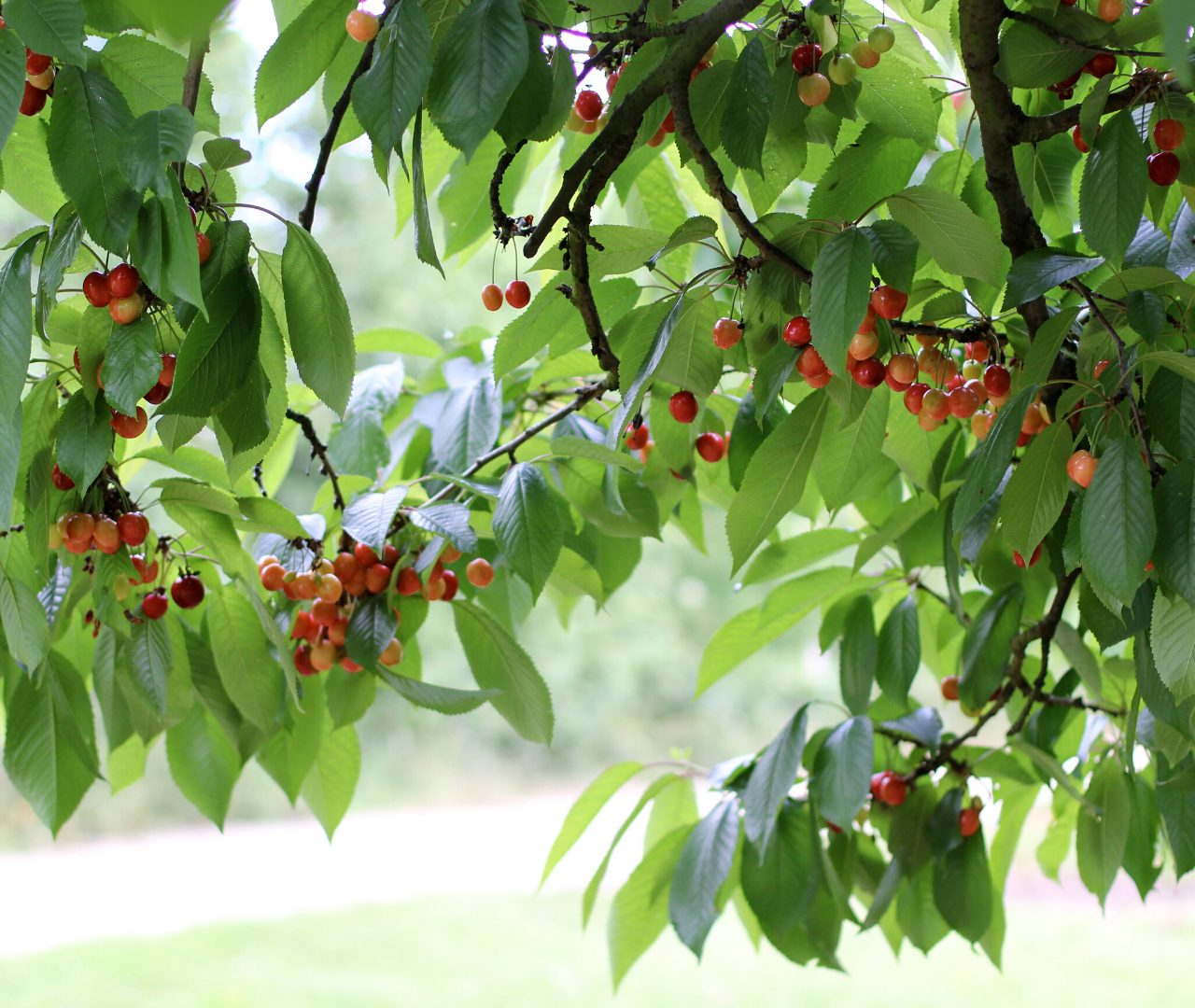 brogdale collections cherry orchards