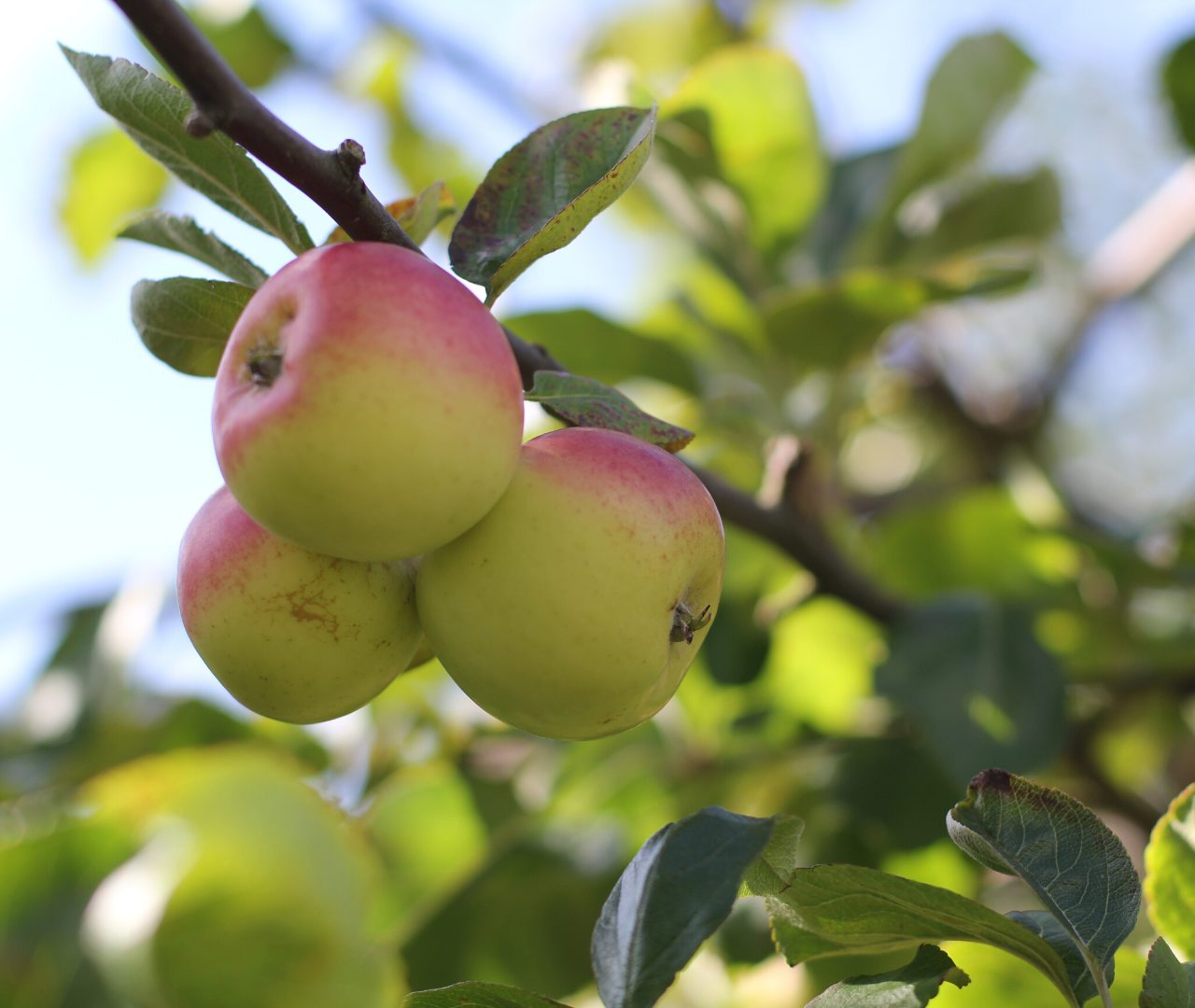 brogdale collections farm apples