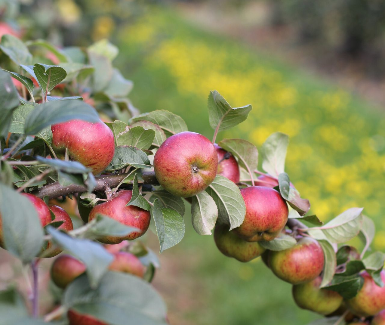 brogdale collections red apples