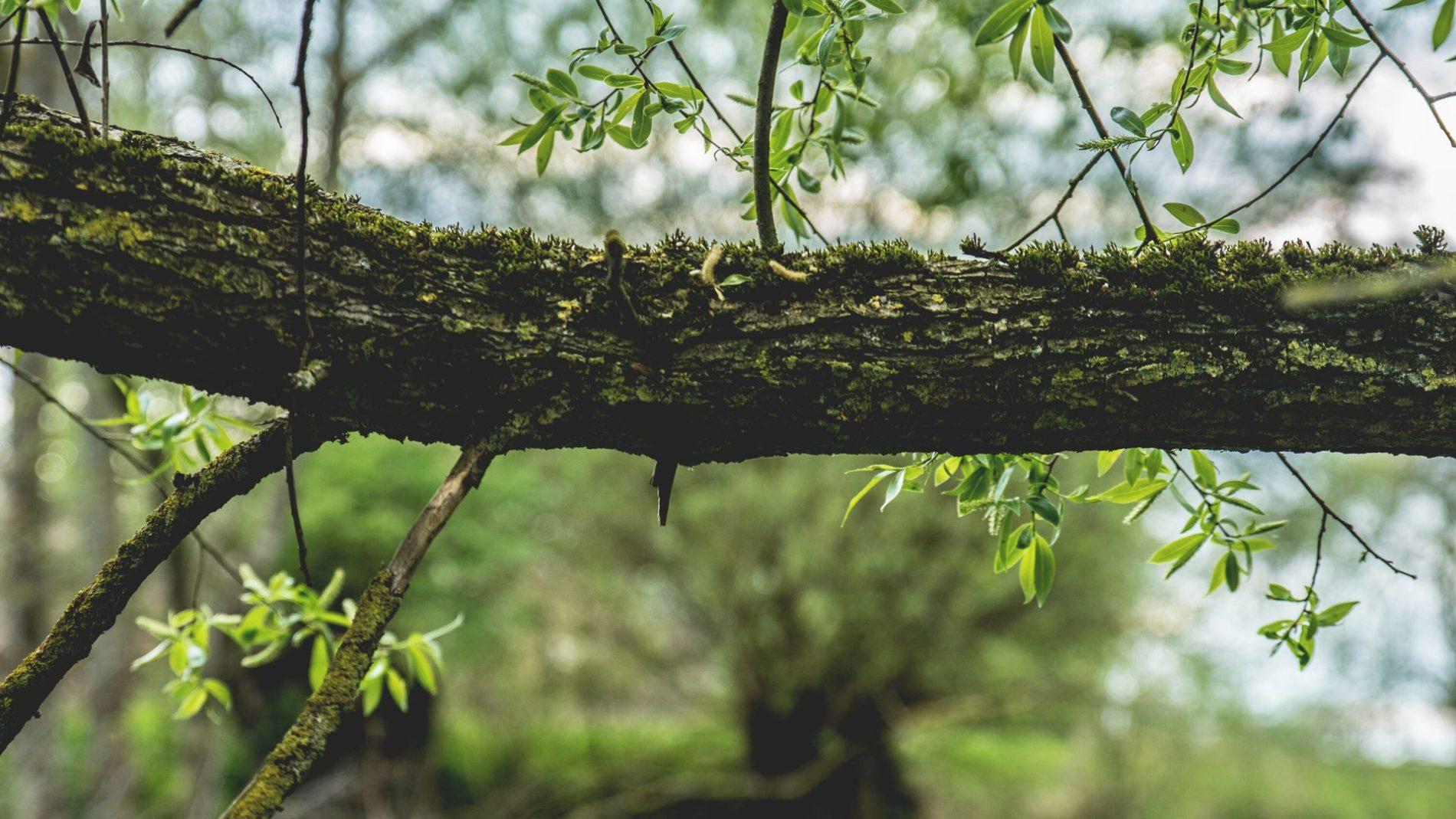 Large tree pruning masterclass