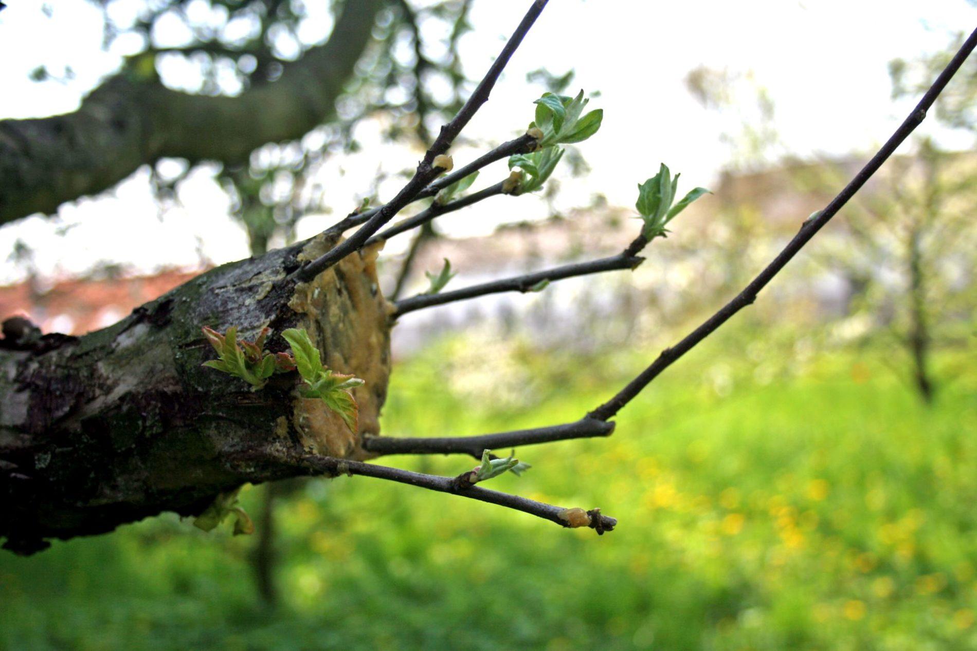 Apple_tree_grafting