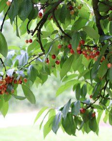 Cherries at brogdale