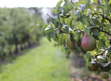 Brogdale Collections Pears