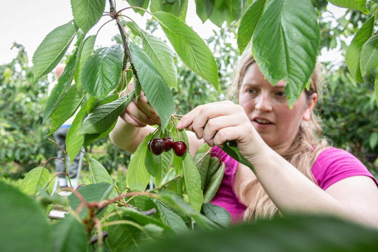 Cherry Picking Volunteers